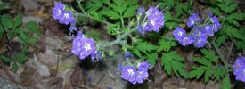 Flowers at Cloudland Canyon State Park